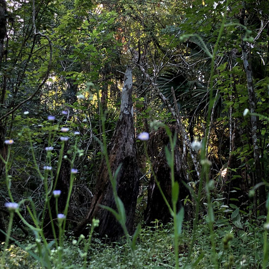 Natural Florida near the Gore Nature Education Center   Donate to Cypress Cove Landkeepers