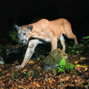 Florida Panther: Preserving Critical Habitats Photo Gallery | Cypress Cove Landkeepers