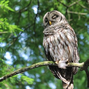 Owl in the Trees: Preserving Critical Habitats Photo Gallery | Cypress Cove Landkeepers