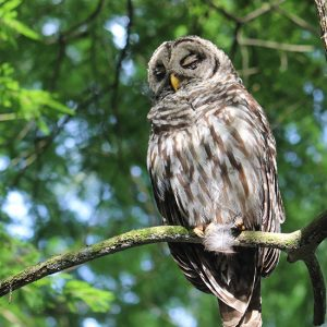Owl in the Trees : Gore Nature Education Center Gallery | Cypress Cove Landkeepers