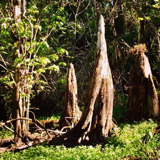 Cypress Knees near the trails at Gore Nature Education Center   Donate to Cypress Cove Landkeepers